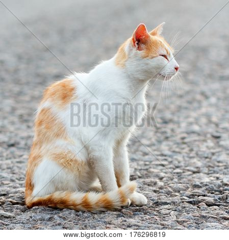 Portrait Of A Stray Cat. White And Red Cat Sitting Alone On The Road, A Lot Of Space For Text, Copys