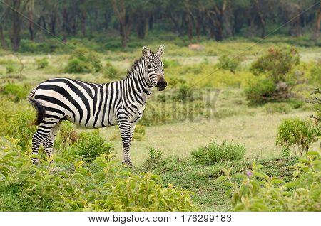 Wildlife Zebra in safari in Africa Kenya Naivasha National Park