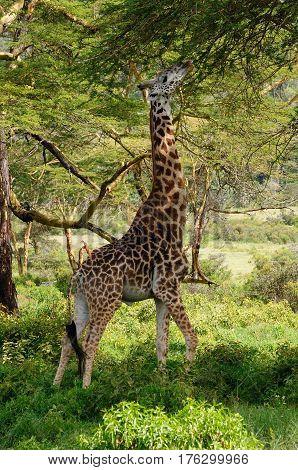 Wildlife Giraffe in safari in Africa Kenya Naivasha National Park