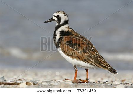 A Ruddy Turnstone, Arenaria interpres at the shoreline on a beach in Florida