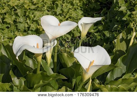 Leaves and Inflorescence of Calla Lilies. Arum Lily flowers blooming in nature.