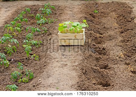 Wooden box sprouts small cucumber ready for planting on the ground stands next to the sprouts tomato in the garden
