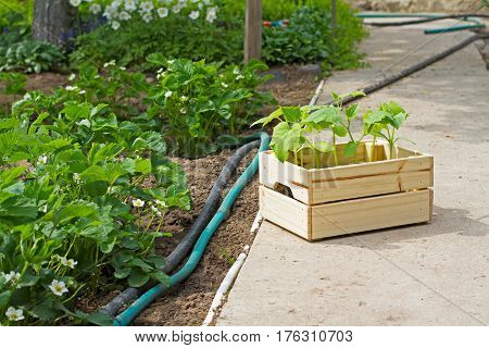 Wooden box sprouts small cucumber ready for planting on the ground stands next to the strawberries and hoses in the garden