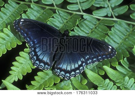 A Red-spotted Purple Butterfly, Limenitis arthemis sits on a fern
