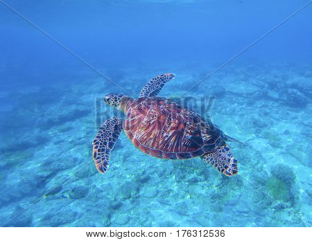 Green turtle in sea water with seabottom background. Underwater photography of wild oceanic animal. Tropical seashore inhabitant. Lovely green turtle swimming and diving in sea water. Exotic nature