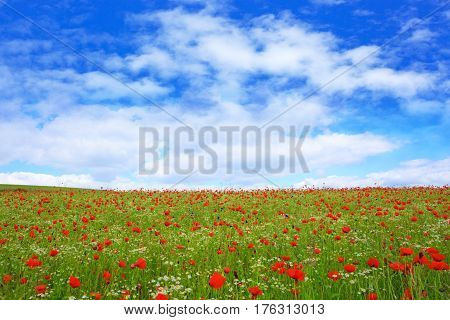 Red poppies against the blue sky.Poppy in the field.