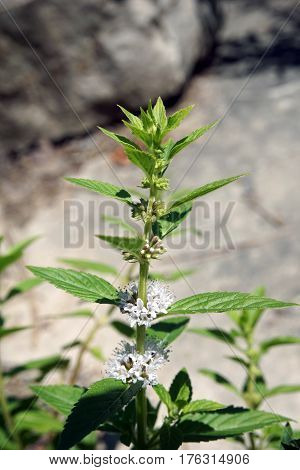 An American common mint (Mentha canadensis) blooms during June in Joliet, Illinois.