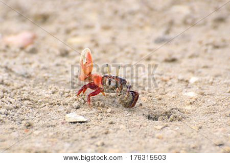 Fiddler crab near a mink in sand rolls the ball out of the sand