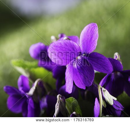 Violets In Close Up