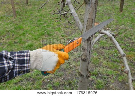 Agriculture, Pruning Tree In Orchard
