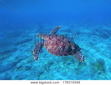 Sea turtle in water. Swimming sea turtle in blue water. Sea tortoise snorkeling photo. Cute green turtle photo. Oceanic animal in sea. Tropical waters life. Beautiful wild nature on tropic seashore.