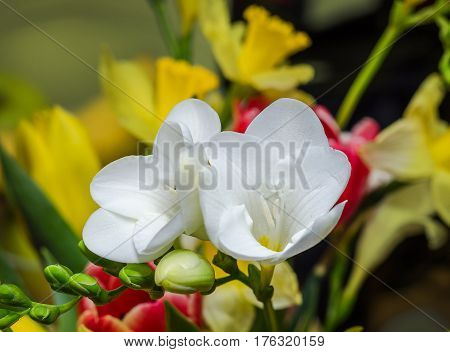 White Freesia Flower, Green Buds, Isolated On Bokeh Background