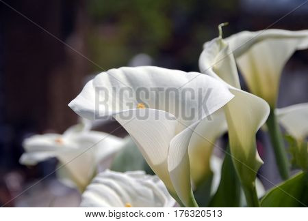 Calla, Bog Arum, Marsh Calla, Wild Calla, Water-arum, Family Araceae, Calla Palustris. White Calla L