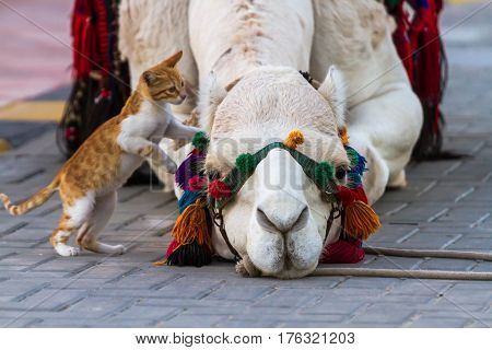 Camel And Cat