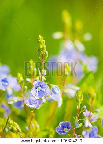 Natural detail with tiny blue-violet tiny blooms and green bokeh background. Sunny spring day theme. Shallow depth of field.