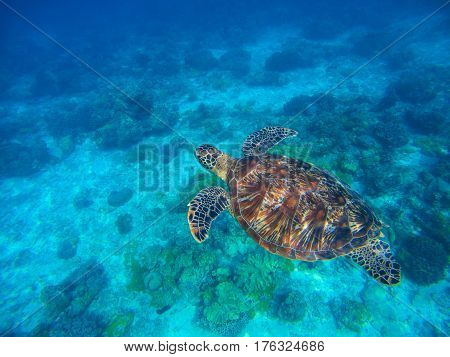 Sea turtle in clear seawater above sand seabottom. Tropical sea nature of exotic island. Olive ridley turtle in blue water. Green tortoise in tropical lagoon. Underwater photo of cute marine animal