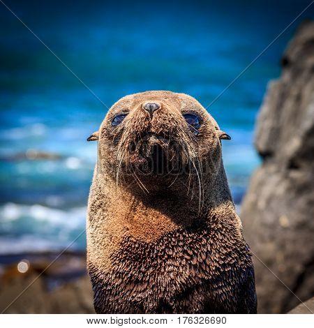 baby fur seal at the coast - New Zealand, North Island, Wellington, Red Rocks coastal walk