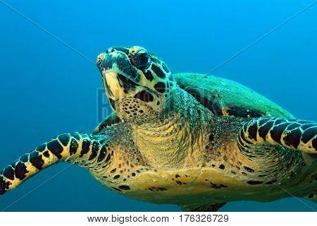 Hawksbill Turtle (Eretmochelys imbricata) Approaching. Coiba Panama