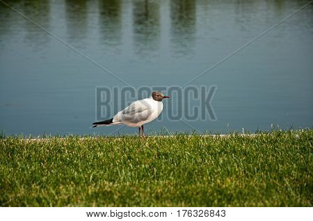 the beautiful black-headed gull sitting on green grass near water