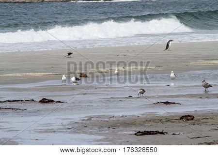 Penguins - Magellan And Gentoo