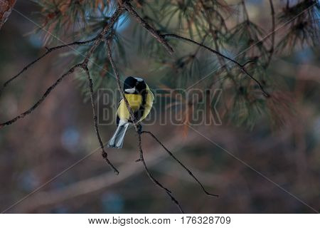 Bird titmouse in the wild nature of the Russian forest