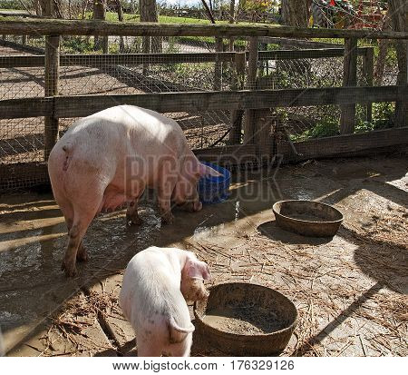Pigs in the mud in the country