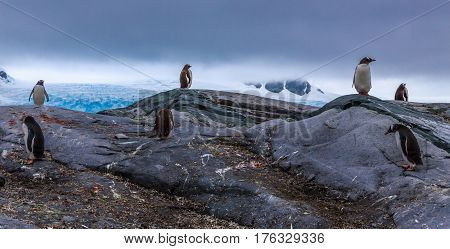 Gentoo Penguins Colony Members Standing On The Rocks With Mountains And Glacier In The Background, A