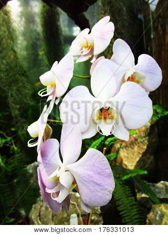 Phalaenopsis orchid white flower growing in a botanical garden
