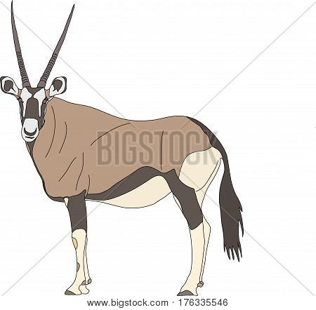 Portrait of a standing Gemsbok with two horns looking into the cam, side view, hand drawn vector illustration isolated on white background