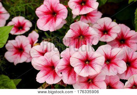 Beautiful pink petunia flowers in a garden