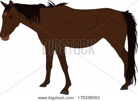 Portrait of a Namib Desert Wild Horse, hand drawn vector illustration isolated on white background