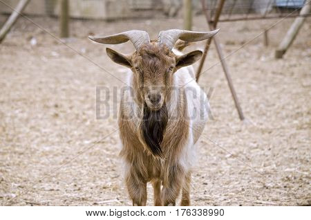 this is a close up of a goat