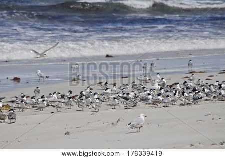 the flock of terns have landed on the beach