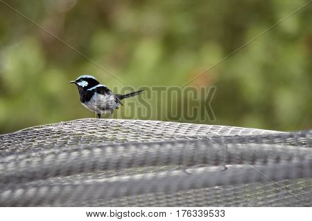 the superb fairy wren is sitting on wire