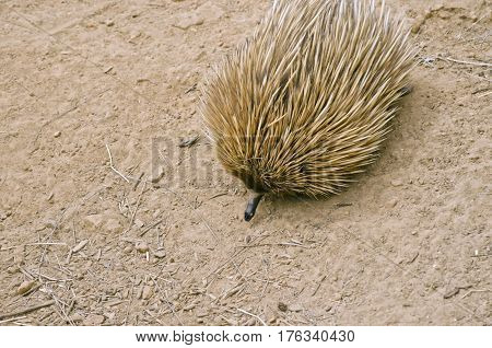 the echidna is searching for ants in the dirt