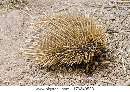 the echidna is searching for ants to eat