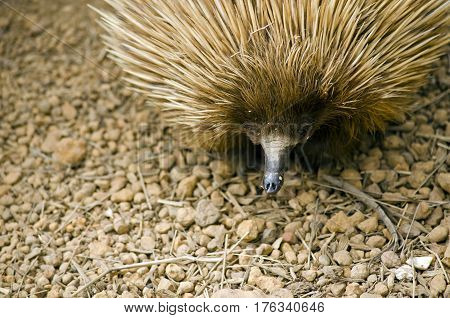 this is a close up of a echidna