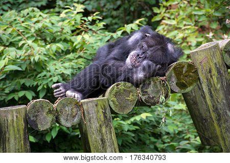 chimpanzee sleeping on a log ramp in woods