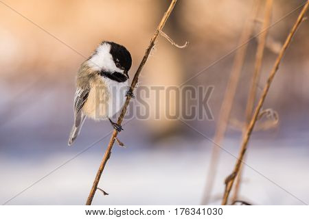 A small passerine bird on a small branch in the morning.