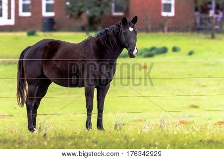 Dark brown horse with star and snip looking at the camera with red house in the background
