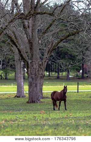 Brown horse standing in an old pecan grove - vertical format