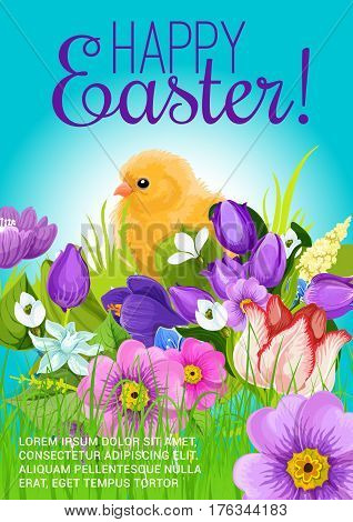 Happy Easter vector design poster or greeting card. Spring flowers bunch of crocuses, daffodils and chicken chick in springtime tulips field. Easter holiday or holy Resurrection religion celebration