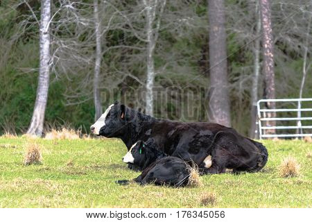 Black and white Angus crossbred cow and calf lying down in a pasture with trees in the background