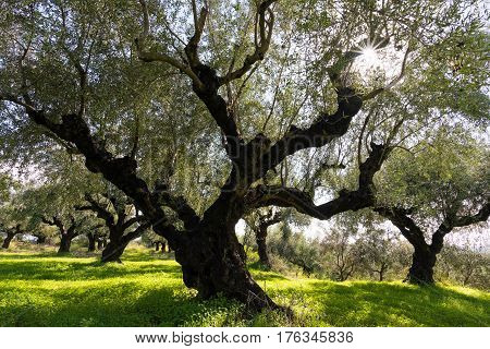 Field of olive trees in Peloponnese, Greece