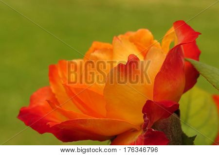 Close up of a beautiful orange coral rose flower growing in a garden green grass background