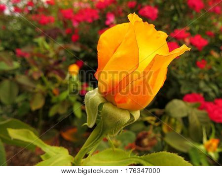 Close-up of a beautiful orange coral rosebud growing in a garden