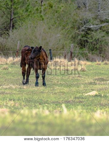 Angus calf standing to the left with blank area to the right - vertical format