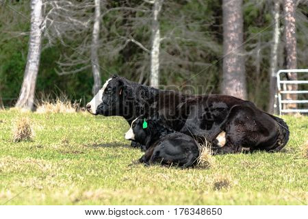 Black baldy cow and calf lying down in a spring pasture with trees in the background