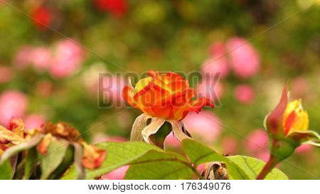 beautiful orange coral rose flower growing in a rose garden