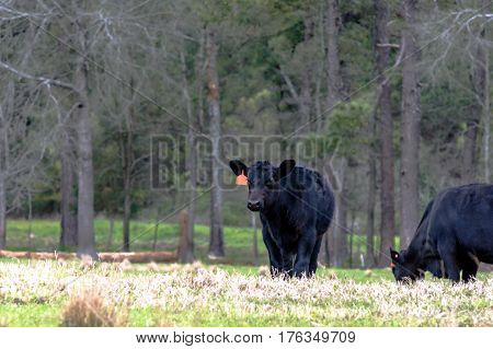 Black Angus calves in an early spring pasture with bare trees in the background